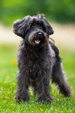 Schnoodle Royalty Free Stock Image