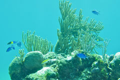 Schnorcheln in Bahamas Coral Reef Stockfoto