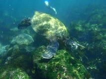 Schnorcheln mit Seeschildkröten Stockbild