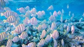 Schnorcheln mit tropischen Fischen stockfoto