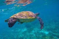 Schnorcheln mit Unterwasserfoto der grünen Meeresschildkröte Stockfotos