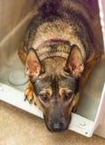 Schoßhund Lizenzfreies Stockfoto
