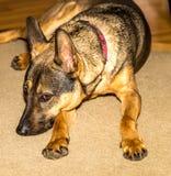 Schoßhund Stockbild