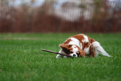 Schoßhund Stockfotografie