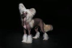 Schoßhund an der Ausstellung Lizenzfreie Stockfotografie