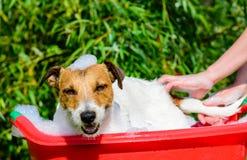 Schoßhund, der im Bad während der Pflegensorgfalt sich wäscht Lizenzfreie Stockbilder