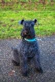 Schoßhund Kerry-Blauterrier geht in den Park lizenzfreies stockbild