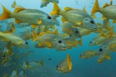 Schoal de los pescados de los mordedores Foto de archivo