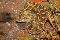 Schocker`s Saw Scaled Viper, Echis carinatus sochureki, Jaisalmer, Rajasthan. India stock photo