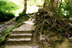 Schodki i dzicy dekoracyjni drzewo korzenie obraz stock
