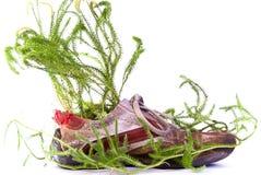 Schoen met lycopodium Stock Fotografie