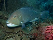 Schoenlein d'endroit noir Tuskfish - de Choerodon images libres de droits