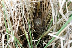 Schoenobaenus настоящей камышевки Гнездо певчей птицы осоки в nat Стоковые Изображения RF