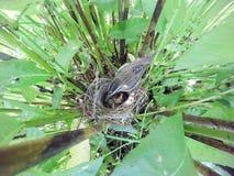 Schoenobaenus настоящей камышевки Гнездо певчей птицы осоки в nat Стоковое фото RF