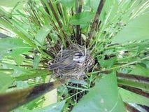 Schoenobaenus настоящей камышевки Гнездо певчей птицы осоки в nat Стоковое Изображение