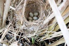 Schoenobaenus настоящей камышевки Гнездо певчей птицы осоки в nat Стоковые Изображения