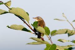 Schoenobaenus настоящей камышевки певчей птицы осоки Стоковое Фото