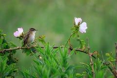 Schoenobaenus настоящей камышевки певчей птицы осоки Стоковое фото RF