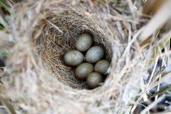 Schoenobaenus del Acrocephalus Il nido delle forapaglie in nazionale Fotografie Stock Libere da Diritti