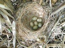 Schoenobaenus del Acrocephalus Il nido delle forapaglie in nazionale Immagini Stock Libere da Diritti