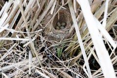 Schoenobaenus del Acrocephalus Il nido delle forapaglie in nazionale Immagini Stock
