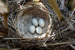 Schoenobaenus del Acrocephalus Il nido delle forapaglie in nazionale Fotografia Stock Libera da Diritti