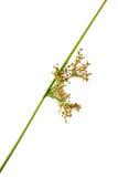 Schoenoplectus tabernaemontani 免版税库存照片