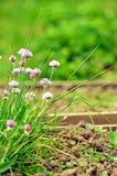 Schoenoprasum de floraison d'allium de ciboulette Photos libres de droits