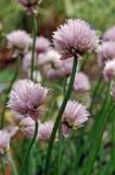 Schoenoprasum del allium fotografía de archivo