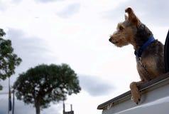 'Schoffel' het Gemengde Ras Terrier Stock Afbeelding
