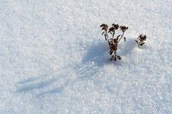 Schoftenbloem op de sneeuw; koud ijzig weer stock fotografie