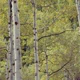 Schokkende espen in Lamb& x27; s Canion, Wasatch-Waaier, Utah stock afbeelding