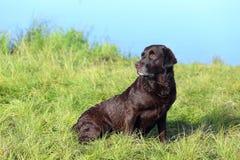 Schokolade Labrador, das auf dem Gras sitzt Lizenzfreies Stockbild