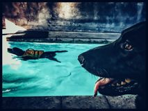 Schokolade Labrador, das Schwimmentherapie tut, während schwarzer Schäferhund Uhr hält Lizenzfreie Stockfotografie