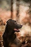 Schokolade Labrador in der kalten Landschaft Stockbilder