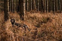 Schokolade Labrador im Wald Lizenzfreies Stockfoto