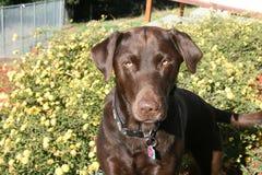 Schokolade Labrador retriever Lizenzfreie Stockbilder