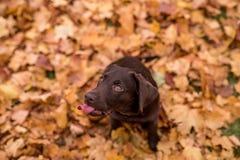 Schokolade Labrador retriever, das im Park sitzt Autumn Leaves stockbilder