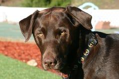 Schokolade Labrador retriever draußen Stockbild