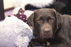 Schokolade Labrador retriever mit einem Teddybären Stockfotografie