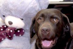 Schokolade Labrador retriever mit einem Teddybären Stockfoto