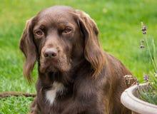 Schokolade Labrador und Springer-Spanielkreuzhund Stockfotografie