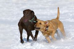 Schokolade und gelbe Labrador-Apportierhunde Stockfoto