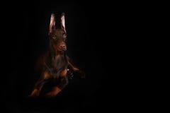 Schokoladen-Dobermannwelpe Stockfotos