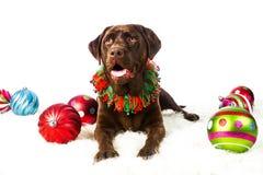 Schokoladen-Feiertags-Labrador-Apportierhund Lizenzfreies Stockfoto
