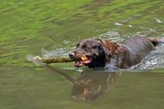 Schokoladen-Labrador-Apportierhund Lizenzfreie Stockfotos