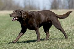 Schokoladen-Labrador-Apportierhund auf dem Gebiet Lizenzfreies Stockfoto