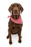 Schokoladen-Labrador-Apportierhund-Hund mit Schal Stockbild
