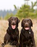 Schokoladen-Labrador-Brüder in der Landschaft Stockfoto