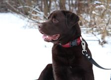 Schokoladen-Labrador retriever-Hund Lizenzfreies Stockbild